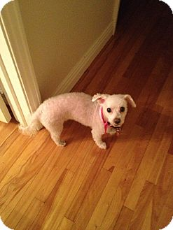 Bichon Frise Dog for Sale in Laval, Quebec - Daisy