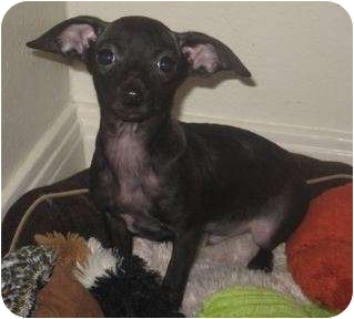 Rat Terrier/Chihuahua Mix Puppy for Sale in Van Nuys, California - Tiny Dino
