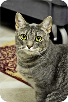 Domestic Shorthair Cat for Sale in Chesapeake, Virginia - Gradie