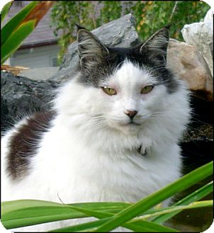 Domestic Mediumhair Cat for Sale in Colville, Washington - Miss Kitty
