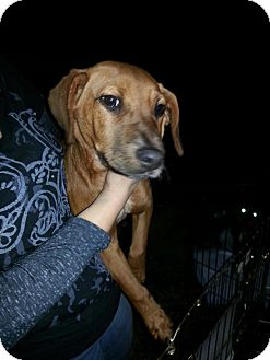 Redbone Coonhound/Basset Hound Mix Puppy for Sale in East Rockaway, New York - Dandy