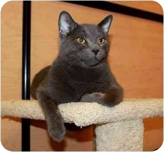 Russian Blue Cat for adoption in Smyrna, Tennessee - (CL) Jacob
