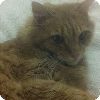 Domestic Mediumhair Cat for Sale in Bear, Delaware - Toni