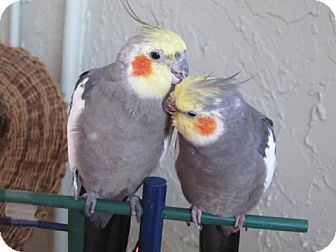 Cockatiel for adoption in Tampa, Florida - Mihtu &amp; Mihti