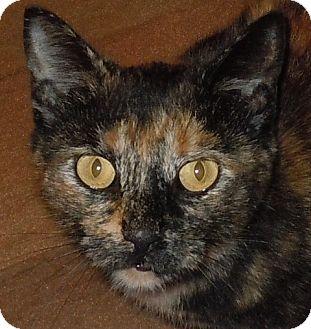 Domestic Shorthair Cat for adoption in Neosho, Missouri - Claret