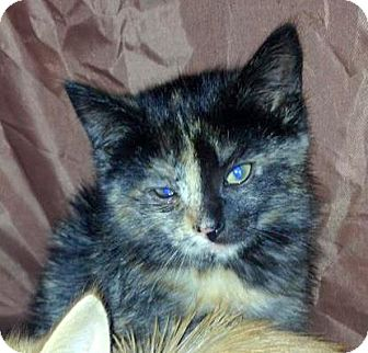 Domestic Shorthair Kitten for Sale in Troy, Michigan - Maxi Scherzer
