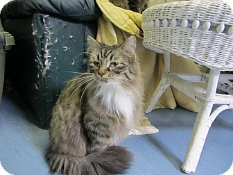 Domestic Mediumhair Cat for adoption in Bainbridge Island, Washington - Chiffon