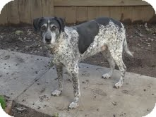 German Shorthaired Pointer/Labrador Retriever Mix Dog for Sale in Yuba City, California - Daisy