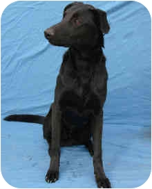 Labrador Retriever Mix Dog for adption in Canon City, Colorado - Honest Abe CI 1856