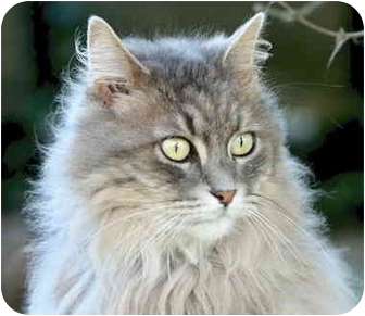 Domestic Longhair Cat for adoption in Crescent City, California - Coco Puff