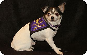 Chihuahua Mix Dog for adption in Wisconsin Dells, Wisconsin - Elliot