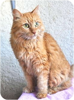 Domestic Longhair Cat for adoption in Pasadena, California - Cecily