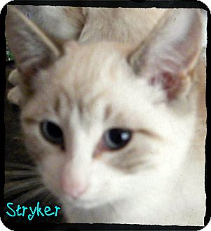 Siamese Kitten for Sale in anywhere, New Hampshire - Stryker