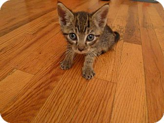 Domestic Shorthair Kitten for adoption in New York, New York - Mary