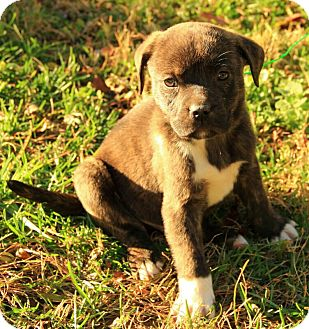 Boxer/Terrier (Unknown Type, Medium) Mix Puppy for Sale in Harrisonburg, Virginia - Courtland