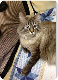 Maine Coon Cat for Sale in Shippenville, Pennsylvania - Kitty-Kat