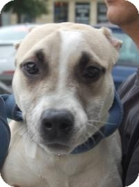 American Pit Bull Terrier Mix Dog for adption in Brooklyn, New York - Dahlia