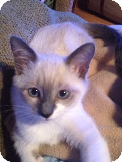 Siamese Kitten for Sale in Vero Beach, Florida - Luna