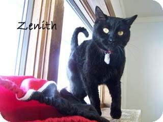 American Shorthair Cat for Sale in Hamilton, Montana - Zenith