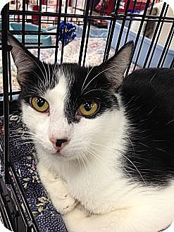 Domestic Shorthair Cat for adoption in La Canada Flintridge, California - Hobo