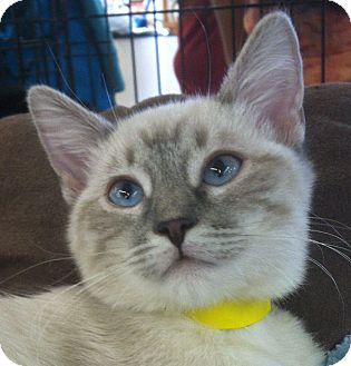 Siamese Cat for Sale in Winchester, California - Siouxee-Q
