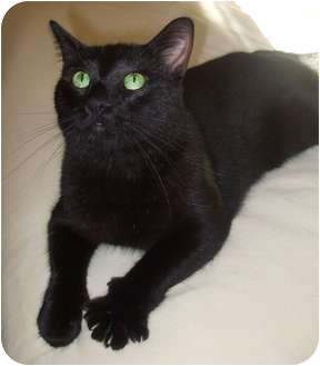 Domestic Shorthair Cat for adoption in Johnstown, Ohio - Midnight Louie