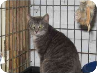 Domestic Mediumhair Cat for adoption in Pittsboro, North Carolina - Playgirl