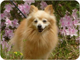 Pomeranian Dog for Sale in Brooksville, Florida - REX-Adopted!!