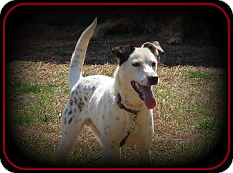 Pointer/Jack Russell Terrier Mix Dog for Sale in Indian Trail, North Carolina - Skittles
