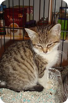 Domestic Shorthair Kitten for Sale in Brooklyn, New York - Pistachio