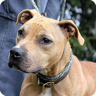 Pit Bull Terrier Mix Dog for Sale in Springfield, Illinois - Ginger: Sweet-Natured!