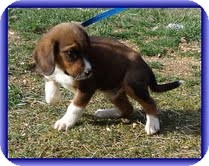 Beagle Mix Puppy for Sale in Hagerstown, Maryland - Zues