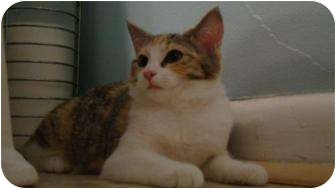 Domestic Shorthair Cat for adoption in Stafford, Virginia - Buttercup