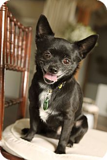 Chihuahua Dog for adption in Garland, Texas - Eddy