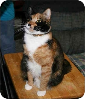 Calico Kitten for adoption in Houston, Texas - Jazzy
