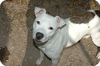 American Pit Bull Terrier Dog for Sale in san antonio, Texas - lola