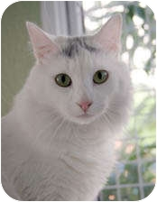 Domestic Longhair Cat for adoption in Van Nuys, California - Arrow