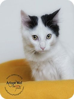 Turkish Van Cat for Sale in Phoenix, Arizona - Spot