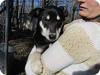 Husky/Australian Kelpie Mix Puppy for Sale in Lincolnton, North Carolina - Yago