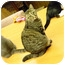 Photo 3 - Domestic Shorthair Cat for adoption in Naples, Florida - Bella