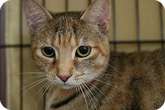 Domestic Shorthair Cat for adoption in Walkersville, Maryland - Tilly