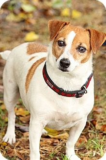 Jack Russell Terrier Mix Dog for Sale in Gilbert, Arizona - April