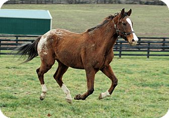 Appaloosa Mix for adoption in Nicholasville, Kentucky - Spirit