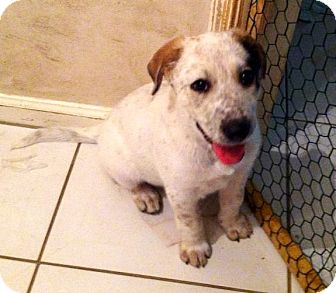 Catahoula Leopard Dog/German Shepherd Dog Mix Puppy for Sale in Porter, Texas - Buttercup