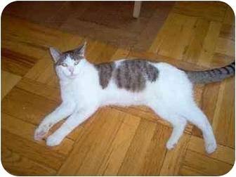 Domestic Shorthair Cat for Sale in Jamaica, New York - Joey