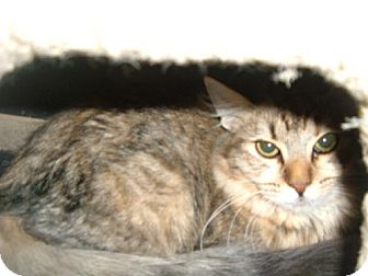 Maine Coon Cat for adoption in Walnut Creek, California - Misty