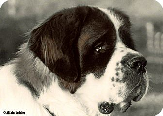 St. Bernard Dog for Sale in Glendale, Arizona - T2 - TOBY II