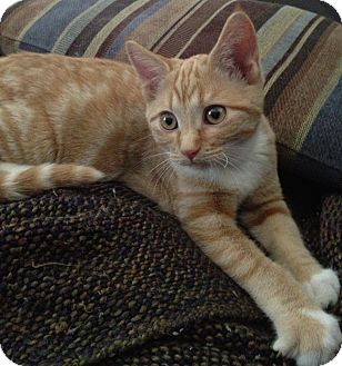 Domestic Shorthair Kitten for Sale in Kansas City, Missouri - Clyde