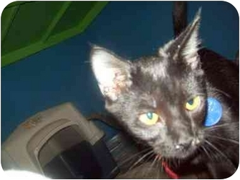 Domestic Shorthair Cat for adoption in Orlando, Florida - Salem