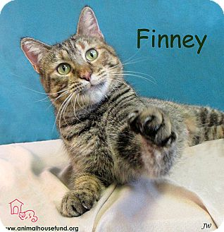 Domestic Shorthair Cat for adoption in St Louis, Missouri - Finney